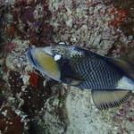 Titan Triggerfish - 褐拟鳞鲀、剥皮鱼