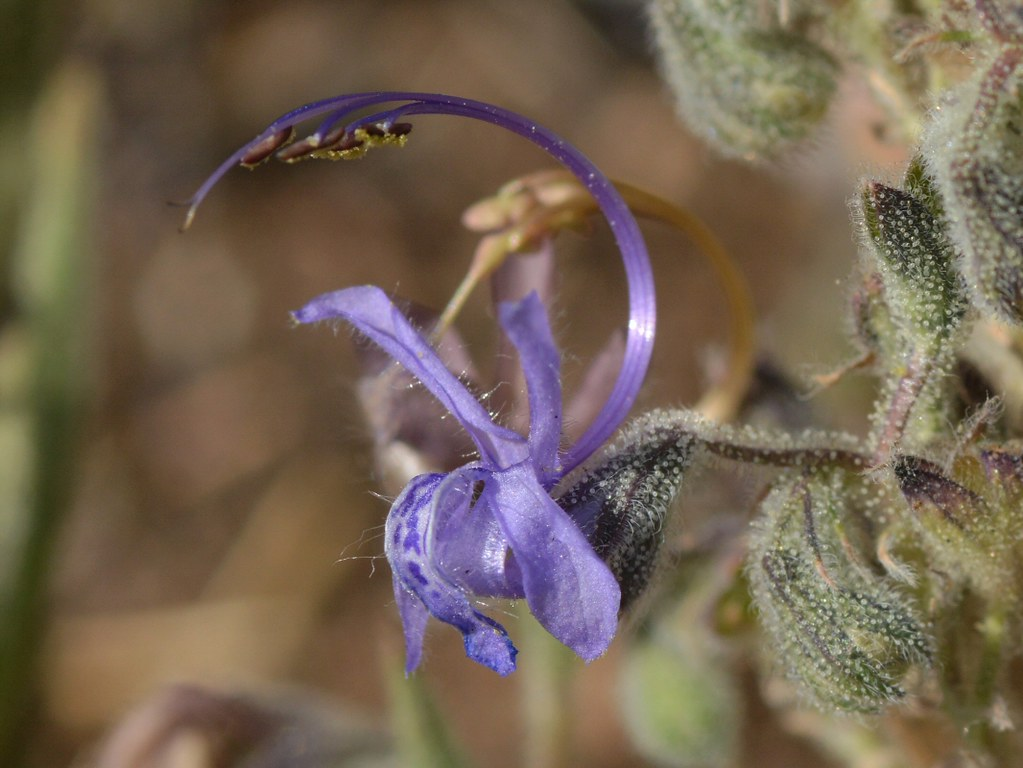 Single flower of native Vinegar Weed (Trichostema lanceola… | Flickr