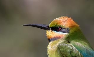 rainbow bee-eater (Merops ornatus)-7186 | by rawshorty