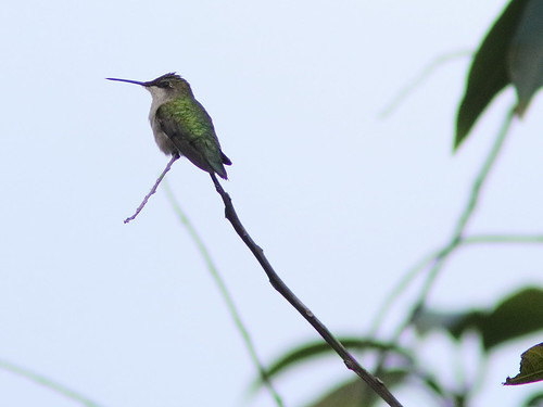Ruby-throated Hummingbird 20161123