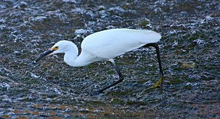 Egret With Fish | by Manjucus