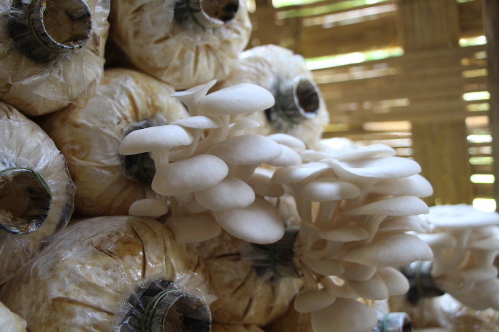 Oyster mushroom cultivation spurs income for Laos farmers | Flickr
