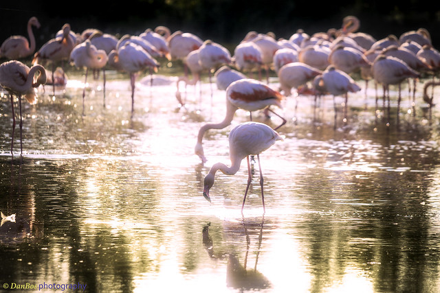 Flamingos reflection