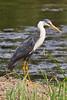 _MG_0062 Pied Heron (Egretta picata) by ajmatthehiddenhouse