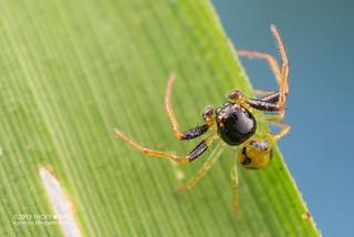 Crab spider (Thomisidae) - DSC_2340