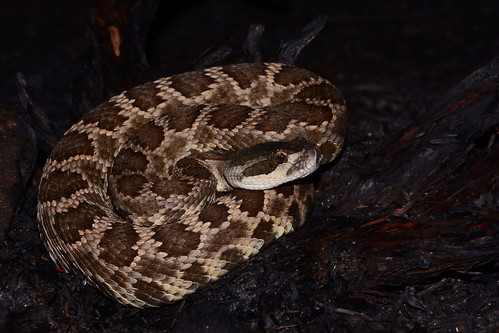 Southern Pacific Rattlesnake - Crotalus oreganus helleri | by Gopher Greg