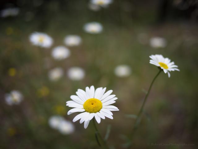 Daisies in a Sierra Summer