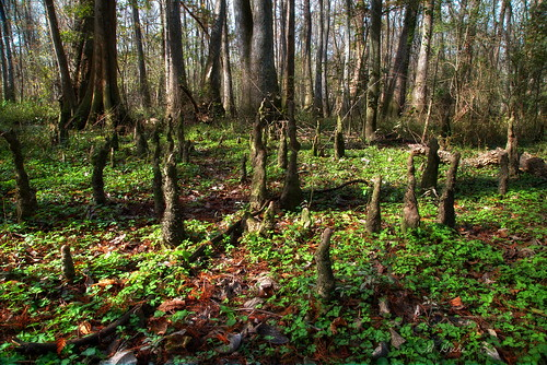 blue trees green nature woods louisiana trail batonrouge swamp cypress knees bonnet