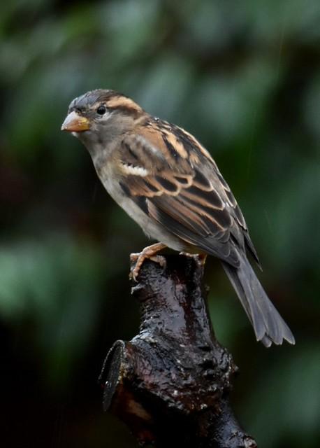 Sparrow 2026 Back Garden D210bob DSC_1211