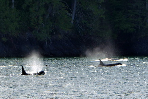 Johnstone Strait Orcas | by Sailing P & G