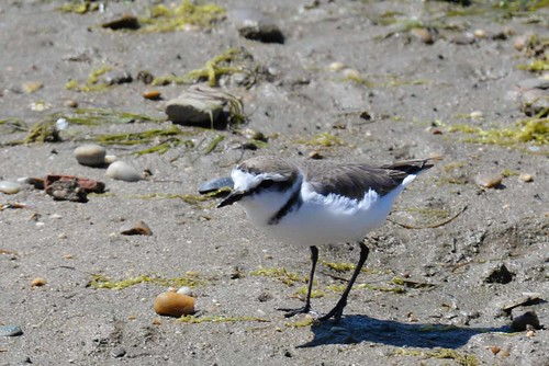 Kentish Plover (Charadrius alexandrinus) | by Brian Carruthers-Dublin-Eire