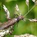 Insectes - Plécoptères