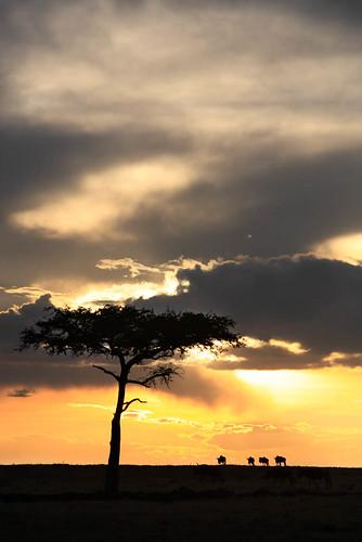 africa travel trees panorama nature animals pine landscapes kenya wildlife group sunsets landmark savannah herd scenics wildebeest africans masaimara kenyan famousplaces connochaetes