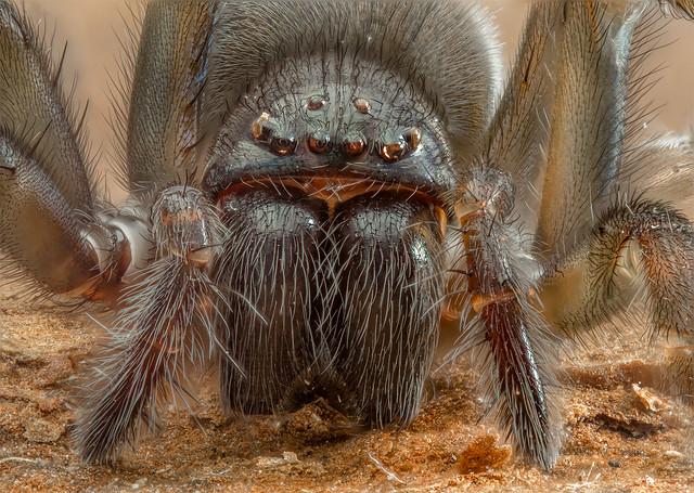 Ground Spider, Gnaphosidae ssp.