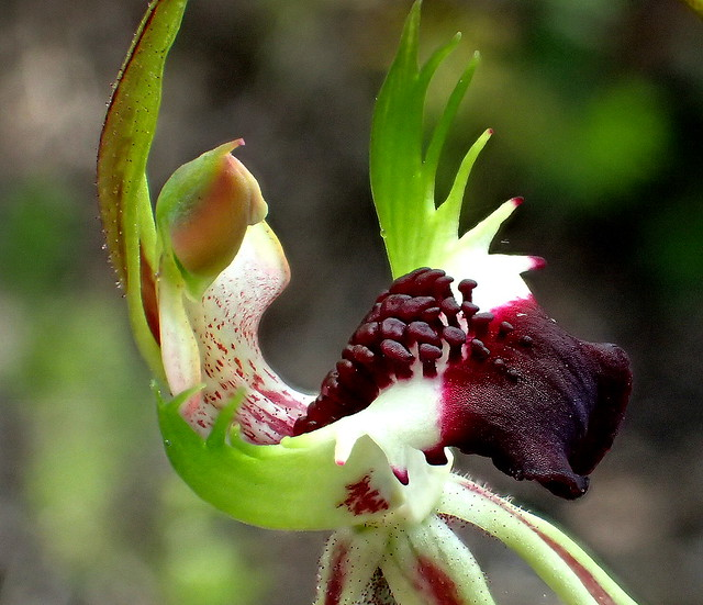 Green Comb SPIDER ORCHID up close