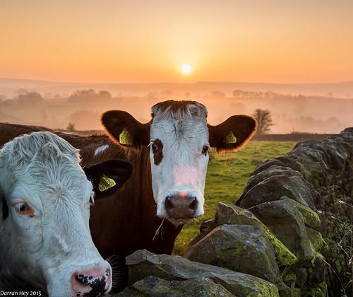 autumn sunset mist cow cattle yorkshire dales