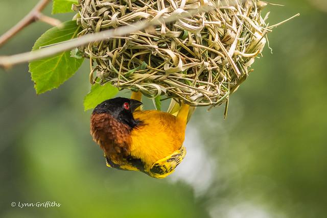 Village Weaver - Male -  Hanging below his nest 710_5485.jpg