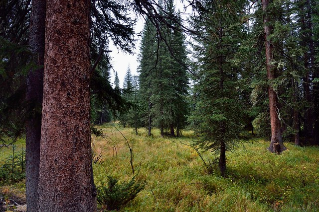 Evergreen Trees and a Patch of a Grassy Meadow (Rocky Mountain National Park)