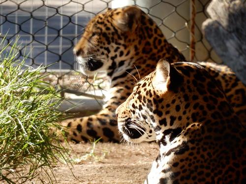 San Diego Zoo - jaguars