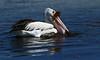 Pelican feeding and preening Pelecanus conspicillatus by Maureen Pierre