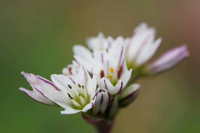 Flor de Ajo .. Garlic Flower