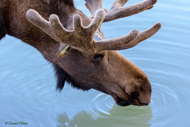 Moose and water go together - like moose and squirrel...