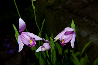 Pogonia ophioglossoides (Orchid)   by Markus Branse