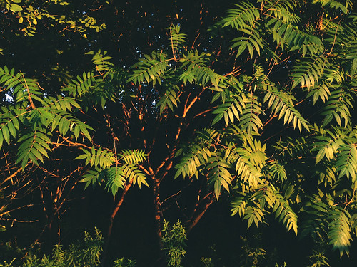 sunset sumac | by wesleymiles