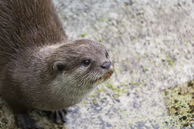 Oriental small-clawed otter, Blackpool Zoo, Blackpool, Lancashire, UK
