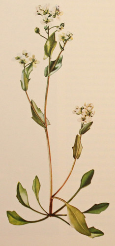 Engels lepelblad / English survy grass / Cochlearia angliuca | by Renk Knol