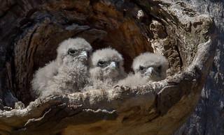 nankeen kestrel (Falco cenchroides)-2069 | by rawshorty