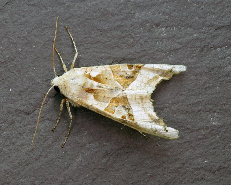 73.113 Angle Shades - Phlogophora meticulosa