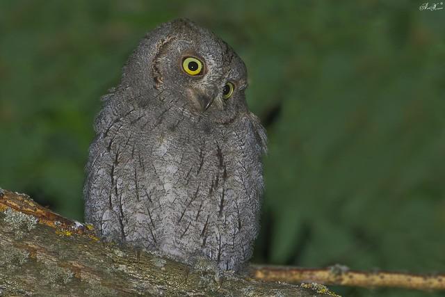 Mocho-pequeno-d'orelhas, Eurasian scops owl (Otus scops) - em Liberdade [WildLife]