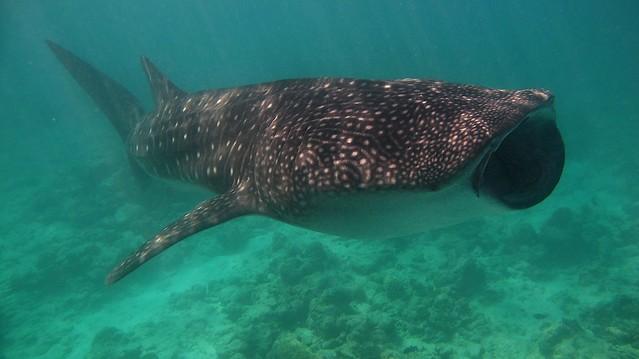 Whale shark / Requin baleine (Rhincodon typus)