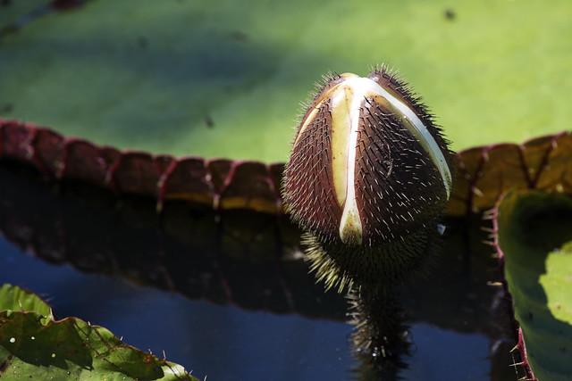 amazon water lilies