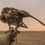 The joy of falconry