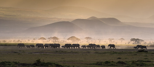 lineofelephants sunset amboselinationalpark kenya eastafrica dusty acaciatrees africansunset wildlife elephants walkingelephants specanimal