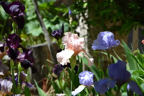 Nos Iris : floraisons 2012 - Page 3 32783520836_5acf836979