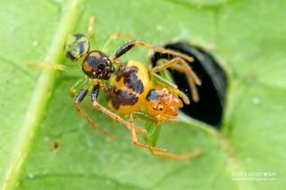 Crab spiders (Thomisidae) - DSC_4212