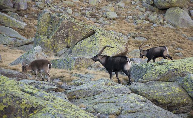 Cabras monteses (Capra pyrenaica)