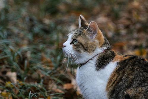 IMG_7126 Calico Japanese cat 縞三毛猫