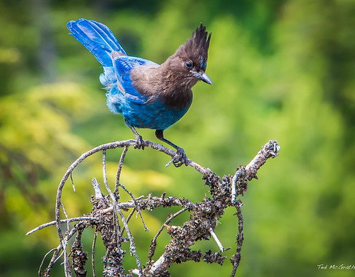 bird eye nikon bc bokeh feathers twig cropped bluebird vignetting boke noisy claws stellersjay birdfeet noisybird tedmcgrath tedsphotos seatosummittrail