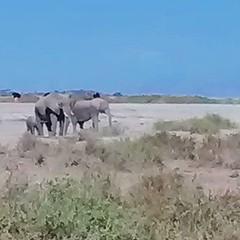 Elephants on the morning #Kenya