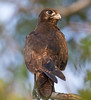 Brown falcon (Falco berigora)(45 cm)(Dark morph version).01 by Geoff Whalan