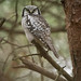 Hökuggla, Northern Hawk-Owl (Surnia ulula)