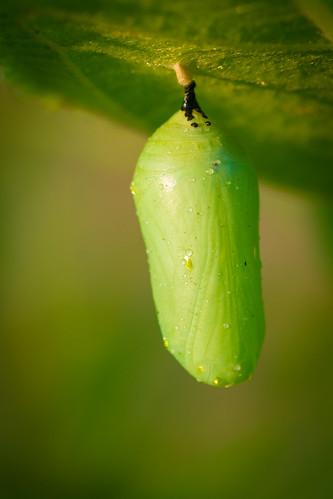 Monarch (Danaus plexippus) Chrysalis   by acryptozoo