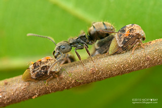 Treehoppers (Adippe inaequalis) - DSC_9950