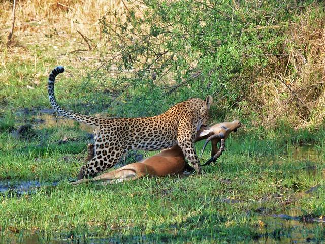 Leopardo cazando un impala en Botswana