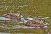 _MG_9982 Pacific Black Duck (Anas superciliosa) by ajmatthehiddenhouse