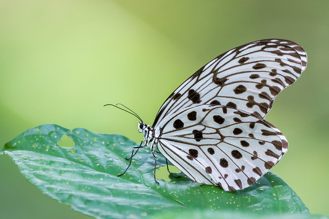Rice Paper Butterfly [Explored]